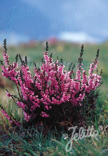 CALLUNA vulgaris   Portion(s)
