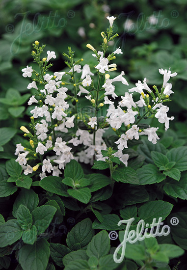 CALAMINTHA nepeta  'Marvelette White' Portion(en)