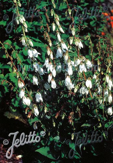 CAMPANULA alliariifolia   Portion(s)
