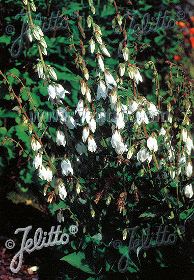 CAMPANULA alliariifolia   Portion(en)