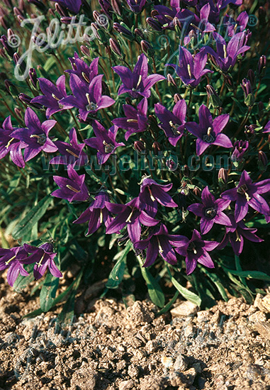 CAMPANULA aucherii   Portion(s)