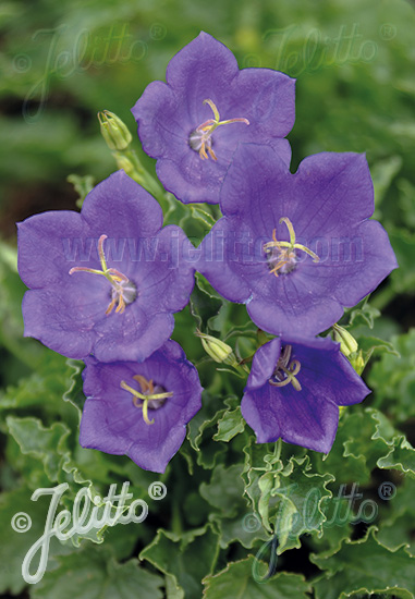 CAMPANULA carpatica  'Deep Blue Clips' Portion(s)