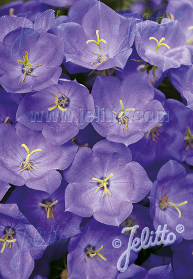 CAMPANULA carpatica  'Blue Uniform' Portion(s)