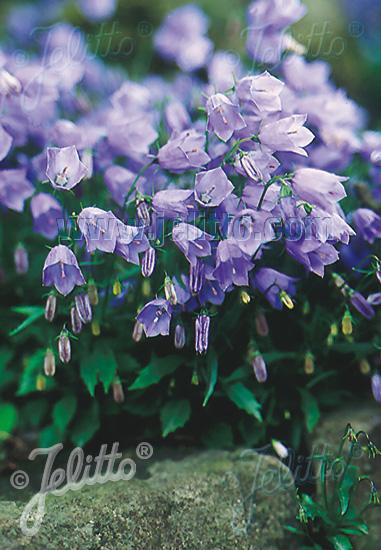 CAMPANULA cochleariifolia  'Bavaria Blue' Portion(en)