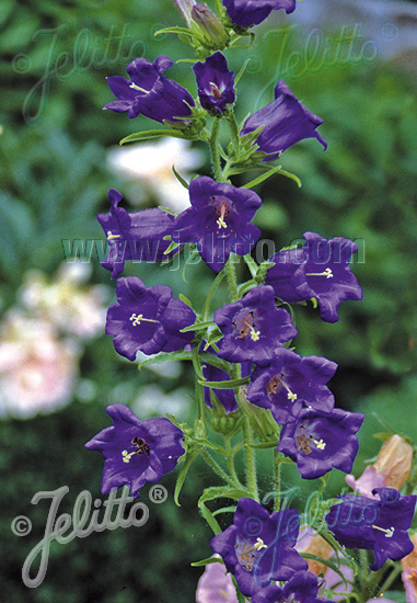 CAMPANULA medium  Blau einfach Portion(en)