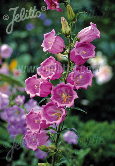 CAMPANULA medium  Rosepink single Portion(s)
