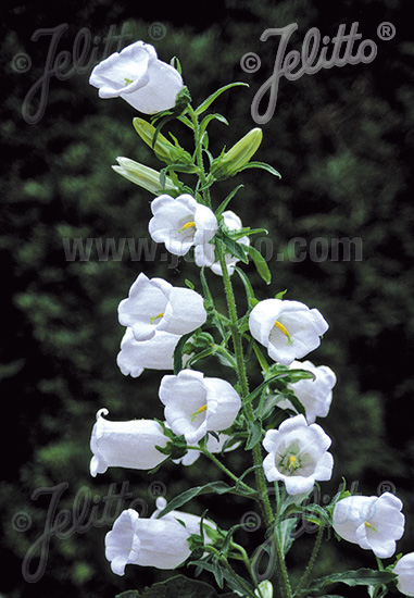 CAMPANULA medium  White single Portion(s)