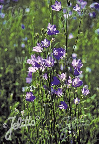 CAMPANULA persicifolia  wild form Portion(s)