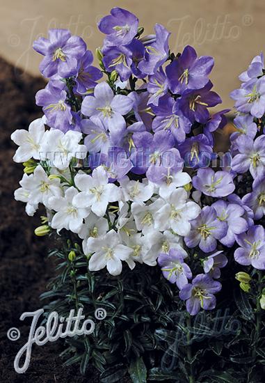 CAMPANULA persicifolia var. planiflora   Portion(s)