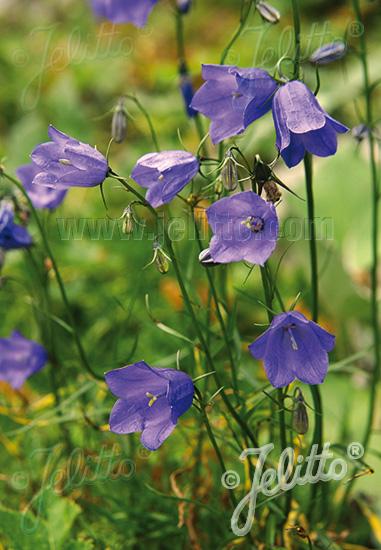 CAMPANULA rotundifolia  'Thumbell Blue'(TM) Portion(s)