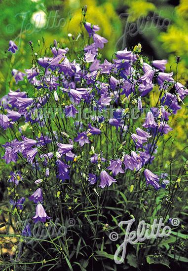 CAMPANULA rotundifolia   Portion(s)