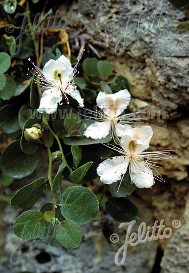 CAPPARIS spinosa   Portion(en)