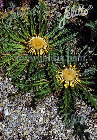 CARLINA acanthifolia   Portion(s)