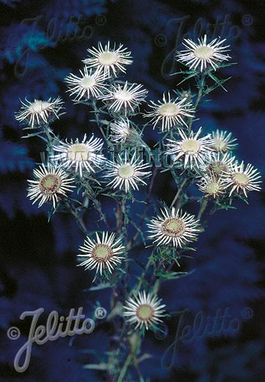 CARLINA vulgaris  'Silver Star' Portion(s)