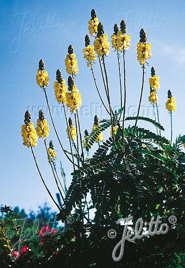 CASSIA didymobotrya   Portion(s)