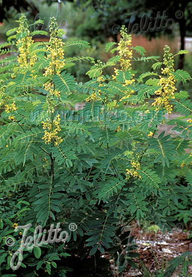 CASSIA marilandica   Portion(s)