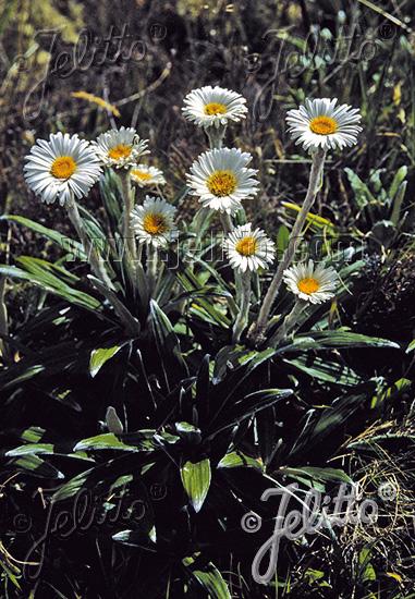 CELMISIA spectabilis ssp. magnifica   Portion(en)