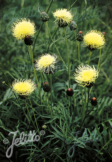 CENTAUREA ruthenica   Portion(s)
