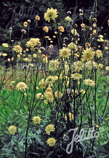 CEPHALARIA alpina   Portion(s)
