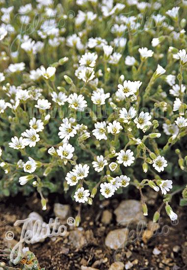 CERASTIUM alpinum var. lanatum   Portion(s)