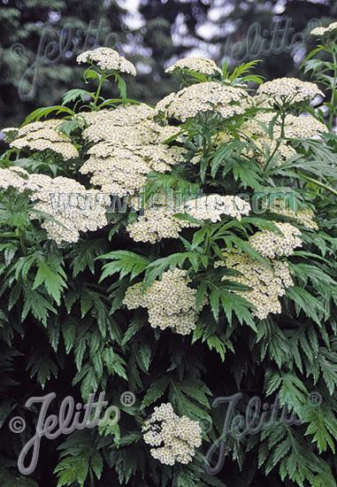TANACETUM macrophyllum   Portion(s)