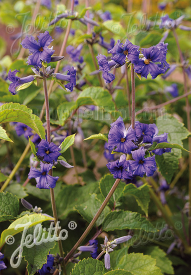 CLEMATIS heracleifolia   Portion(s)