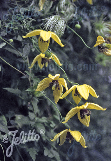 CLEMATIS orientalis   Portion(s)
