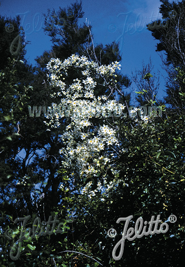 CLEMATIS paniculata   Portion(en)