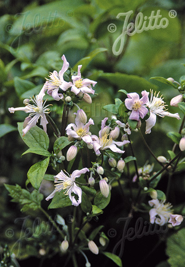 CLEMATIS stans   Portion(en)