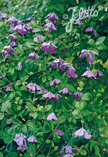 CLEMATIS viticella   Portion(s)