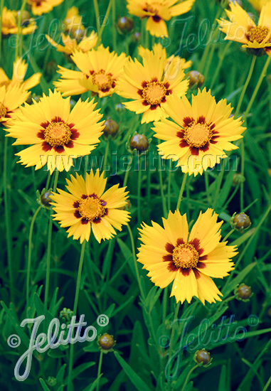 COREOPSIS grandiflora  'Heliot®' Portion(s)