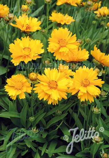 COREOPSIS grandiflora  'Presto' Portion(s)