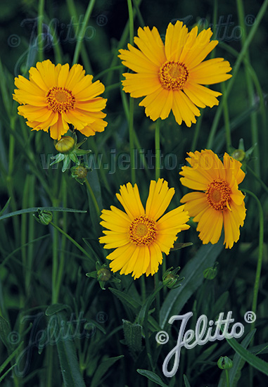 COREOPSIS grandiflora  'Schnittgold' Portion(en)