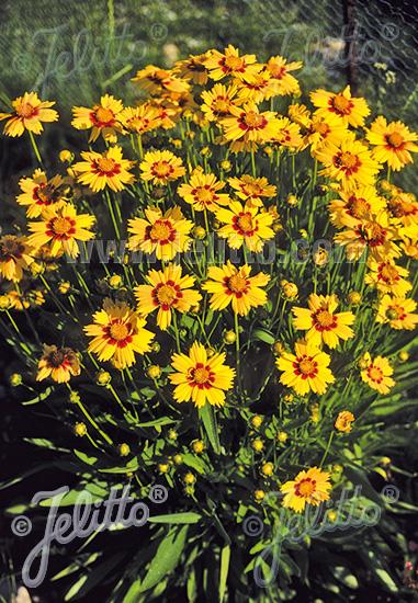 COREOPSIS grandiflora  'Sonnenkind' Portion(s)