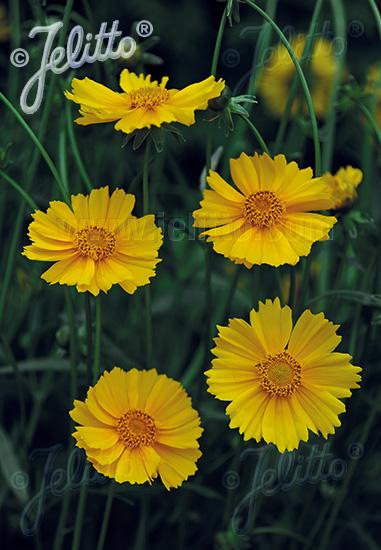COREOPSIS grandiflora  'Sunburst' Portion(en)