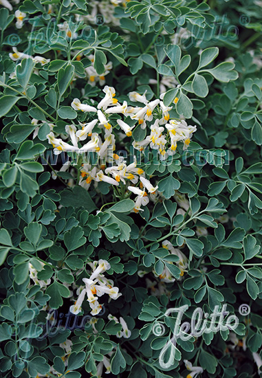 CORYDALIS acaulis   Portion(en)