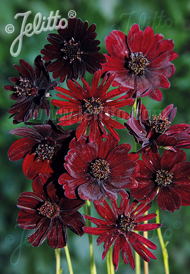 COSMOS atrosanguineus  'Black Magic' Portion(s)