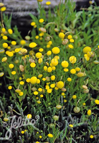 COTULA coronopifolia   Portion(s)