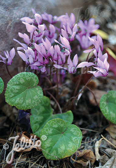 CYCLAMEN mirabile   Portion(s)