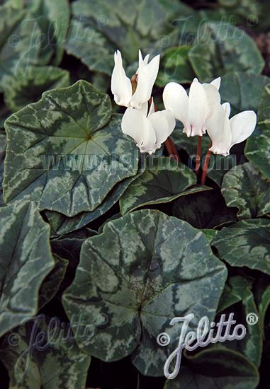 CYCLAMEN hederifolium f. albiflorum   Portion(en)