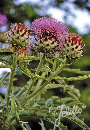 CYNARA cardunculus ssp. flavescens   Portion(s)