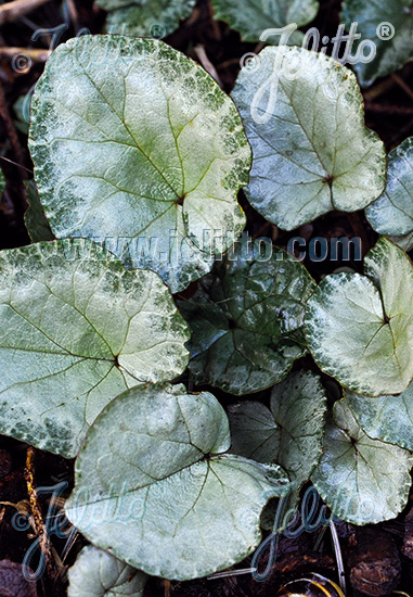CYCLAMEN hederifolium Silver-leaved Group 'Silver Leaf' Portion(s)