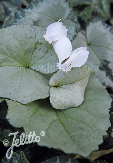 CYCLAMEN hederifolium Silver-leaved Group 'Silver Leaf White' Gram