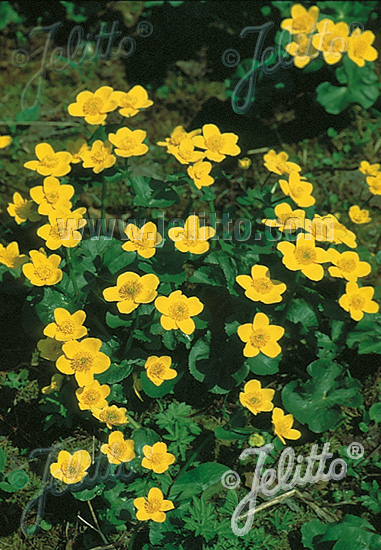 CALTHA palustris   Portion(s)
