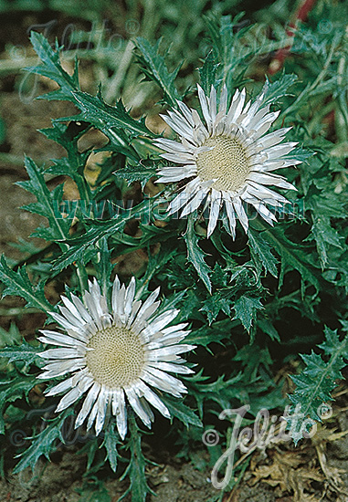 CARLINA acaulis ssp. caulescens   Portion(s)