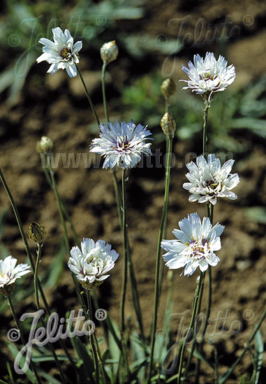 CATANANCHE caerulea  'Alba' Portion(en)