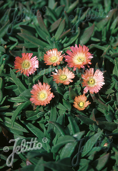 DELOSPERMA sutherlandii  'Peach Star' Portion(s)