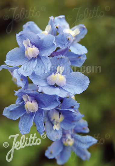 DELPHINIUM Belladonna  'Cliveden Beauty' Portion(s)