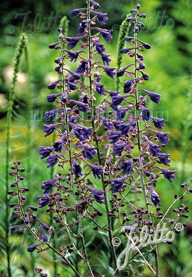 DELPHINIUM maackianum   Portion(s)