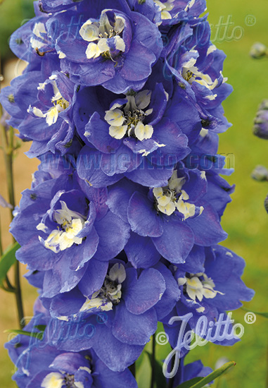 DELPHINIUM Pacific-Hybr. Pacific-Premium-Series 'Blue Bird Premium' Portion(s)